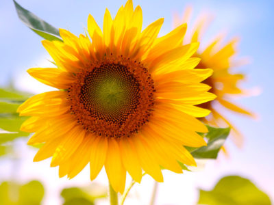 Interesting & Fun Facts About the Sunflower