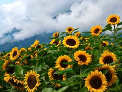More Facts About Sunflowers