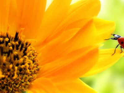 The Many Benefits of Sunflowers